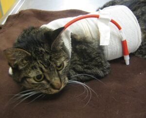 FIGURE 7. Icteric cat with IMHA ready for hospital discharge after placement of an esophagostomy feeding tube.