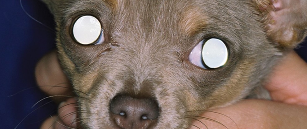 Diagnosing Acute Blindness In Dogs Today S Veterinary Practice