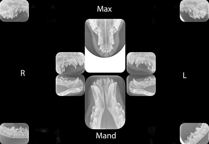 Imaging Essentialsinterpretation Of Dental Radiographs In Dogs