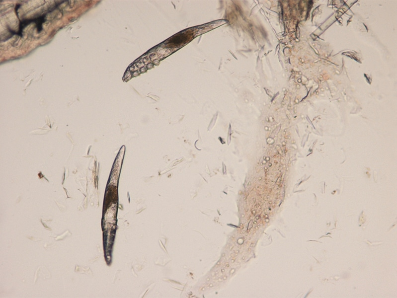 demodex canis simparica