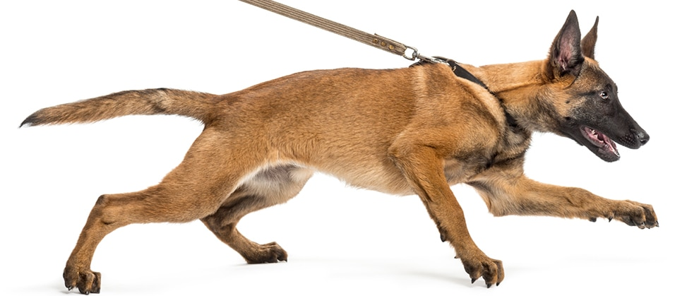 How to Help Dogs That Are Aggressive During Leash Walking