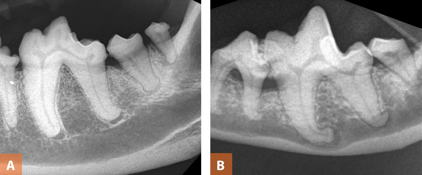 Figure 7A shows fused roots at the left mandibular second molar tooth in a  5-year-old dog. Figure 7B shows dilacerated roots at the left mandibular  first ...