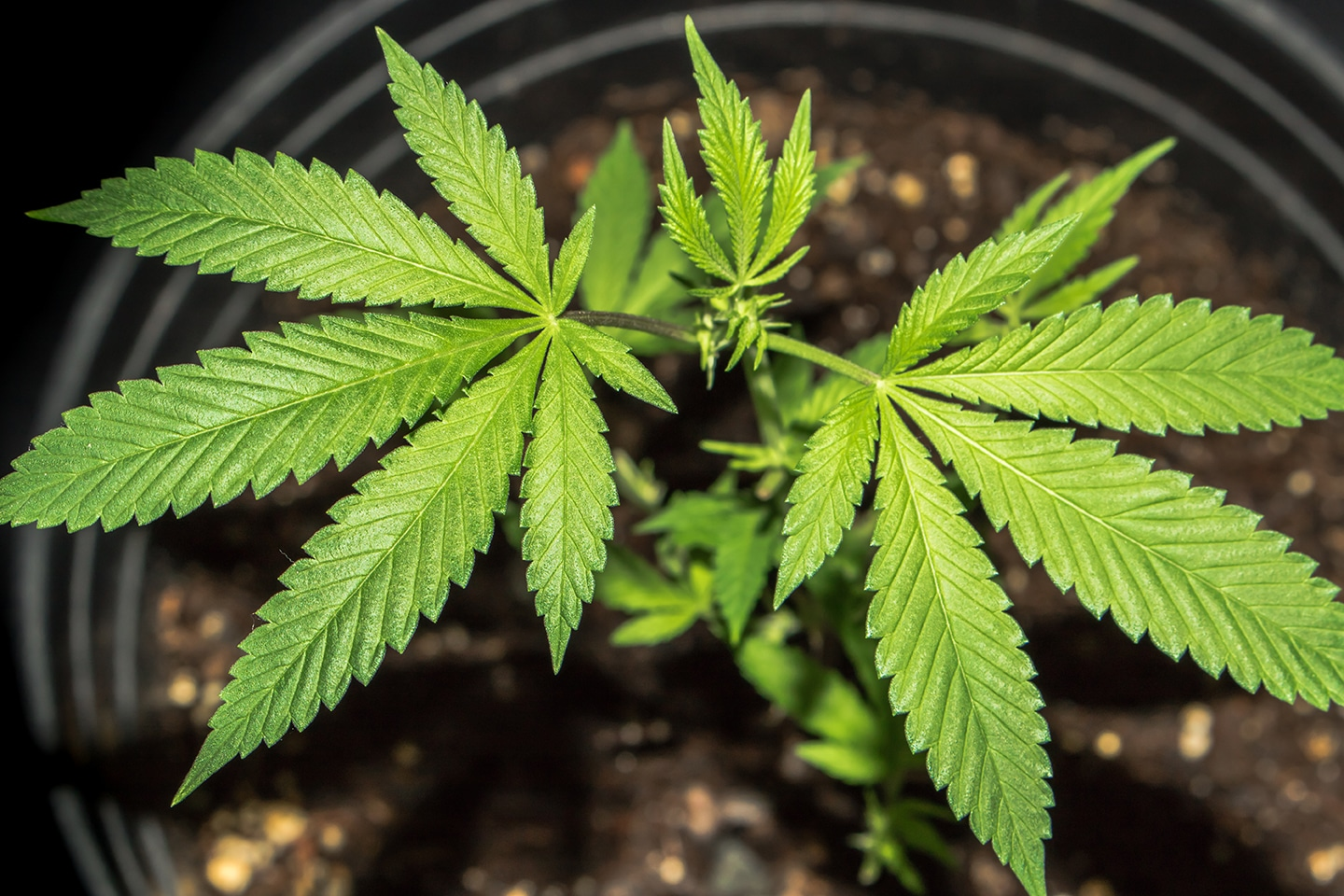 Number of Marijuana-related Poisonings in Pets on the Rise