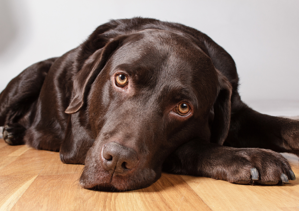 Can a Labrador Retriever's Coat Color Impact Lifespan and Increase Health Issues?