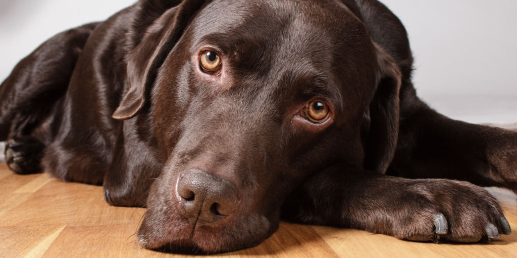 Do Chocolate Labs Have Shorter Lifespans Because Of Their