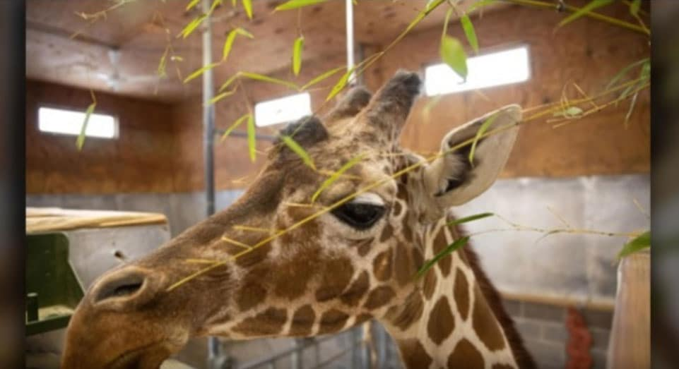 Patches U.S. Oldest Giraffe Palliative Care
