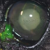 FIGURE 2. Diabetic miniature schnauzer eye with lens-induced uveitis due to rapidly developing diabetic cataracts. Slit lamp examination demonstrates corneal edema as evidenced by the large space between where the beam first hits the fluorescein stain in the corneal tear film and the numerous keratic precipitates present on the endothelial surface. Iris and lens details were difficult to visualize owing to hazy ocular media.