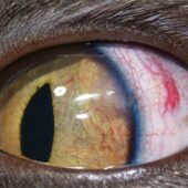 FIGURE 5. Histoplasmosis causing uveitis in a cat. (A) Eye at initial presentation with episcleral blood vessel injection, rubeosis irides, localized peripheral iris swelling dorsolaterally, and a fibrin clot in the anterior chamber obscuring the miotic pupil. (B) Eight days after initiation of treatment for uveitis and histoplasmosis, episcleral injection and iris changes are reduced; fibrin is resolved. (C) Six months after initial diagnosis, uveitis recurred because the clients prematurely stopped fluconazole treatment 2 to 3 months prior. Note dorsal and dorsolateral iris swelling, rubeosis irides, dyscoria due to posterior synechia dorsolaterally, and a central fibrin clot adhered to the lens.