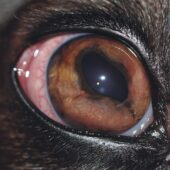 FIGURE 6. Dyscoria due to extensive iris swelling in a dog with systemic lymphoma.
