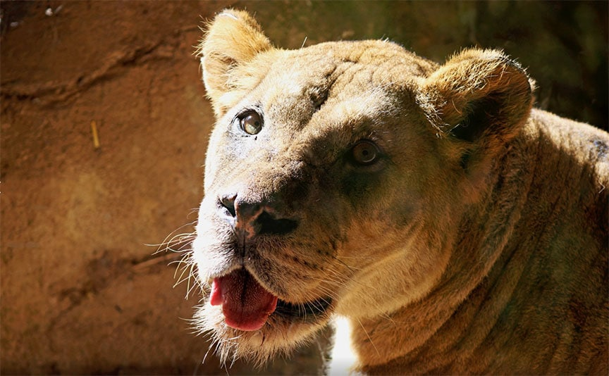 John Ball Zoo Lion Dies of Cancer