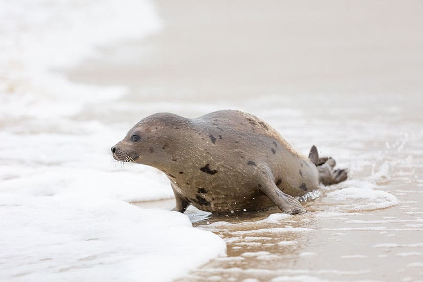 harp seal named Marie Tharp released into the wild