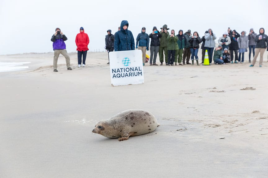 harp seal released by rescue center