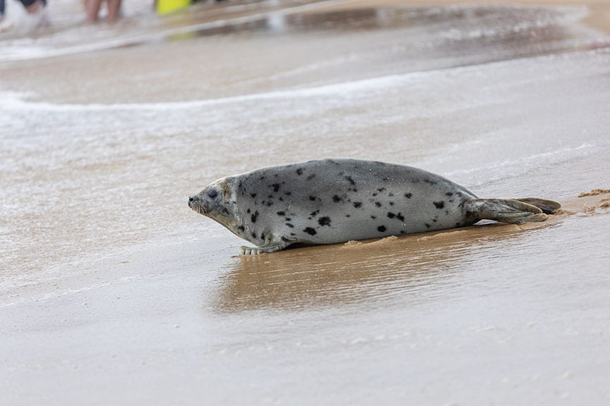 "Rescued Harp Seal ""Sally Ride"" Released From National Aquarium"