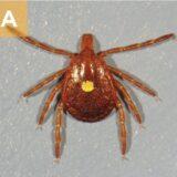 (A) A. americanum female.