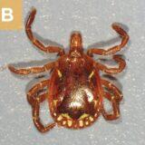 (B) A. americanum male.