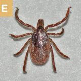 (E) Ixodes scapularis female.
