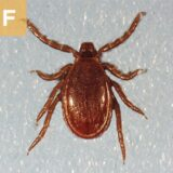 (F) Ixodes scapularis male. I. pacificus is morphologically identical.