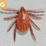(G) Rhipicephalus sanguineus female.