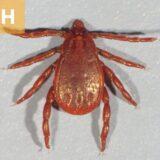(H) Rhipicephalus sanguineus male.