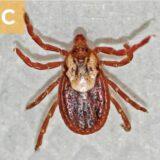 (C) Dermacentor variabilis female.