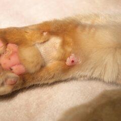 Figure 3. Glucose measurement using paw prick in a cat.