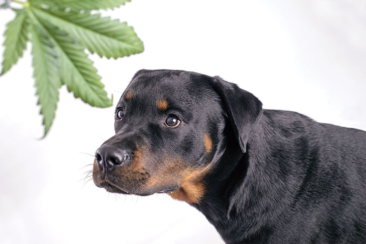 With Legalization on the Rise, Veterinarians Warn Against Pets Getting Into Pot