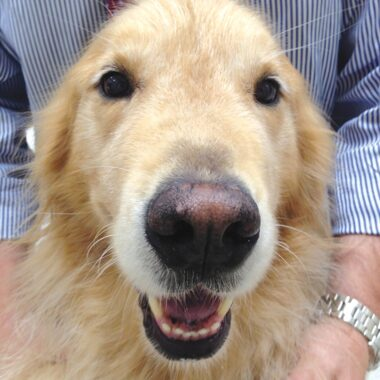 Figure 3. This golden retriever exhibited nonspecific lethargy and gastrointestinal signs after a new (human) baby joined the household. He was 2 years old at the time of diagnosis and is thriving 8 years later. He receives 1.3 mg/kg of DOCP q30d and 0.03 mg/kg prednisone/day. Dogs with hypoadrenocorticism typically have a great quality of life as long as the clients are diligent about maintaining an appropriate medication and monitoring schedule.