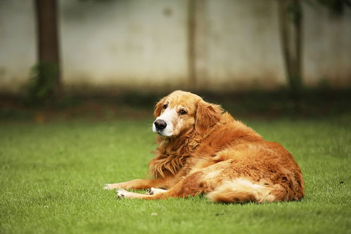 Spaying and Neutering Larger Dogs May Cause Obesity, Orthopedic Problems
