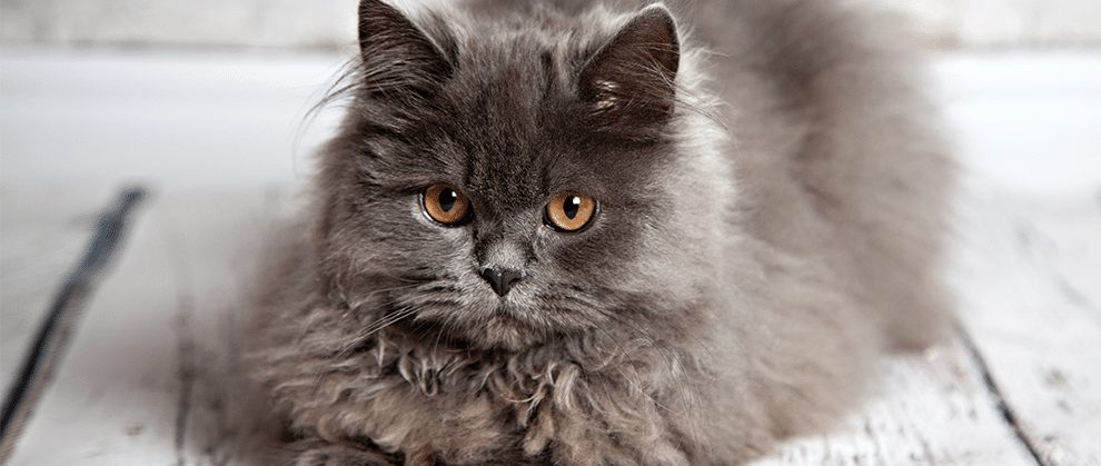Diagnosing and Managing Feline Lower Urinary Tract Disease