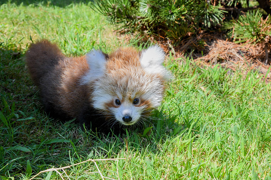 Khyana Red Panda Cub has leg amputated