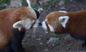Leela and Thomas red panda cubs