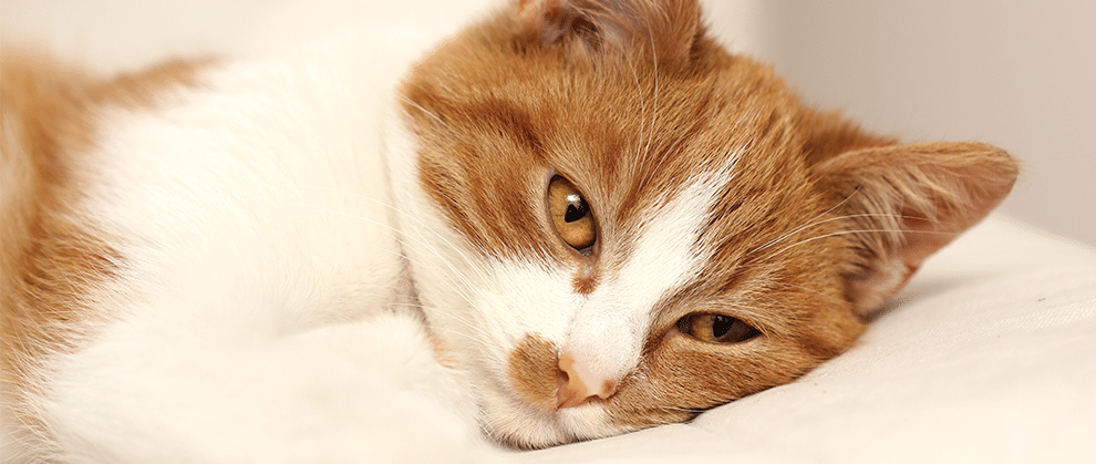 Chronic Pancreatitis in Cats