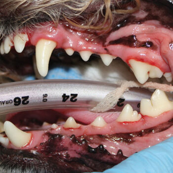 Figure 1. Images showing a dog's teeth after (B) professional dental cleaning. Showing such images to clients can inspire them to start daily toothbrushing as part of their pet's home oral hygiene.