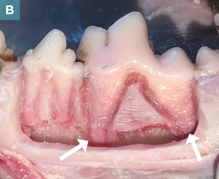 Tooth Extraction Complications In Dogs And Cats