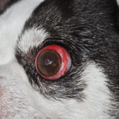 Figure 1. Proptosis in an 8-year-old Chihuahua viewed from different angles. Note the forward protrusion with entrapment of the eyelid margins behind the equator of the globe, subconjunctival hemorrhage, and corneal desiccation. The patient was managed with globe replacement and temporary tarsorrhaphy.