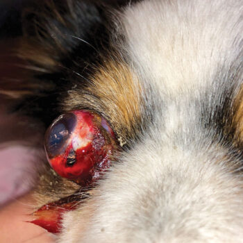 Figure 2. Proptosis in a 3-year-old miniature Australian shepherd viewed from different angles. Note the severe globe protrusion, periocular hemorrhage, and avulsion of multiple extraocular muscles (medial/ventral/lateral recti muscles, ventral oblique muscle). The patient was managed with enucleation given the poor prognosis for globe salvage.