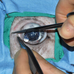 Figure 4. Lateral canthotomy demonstrated in a cadaver pig eye. (A) Crush the skin (~1 cm) at the lateral canthus with straight hemostat clamp.