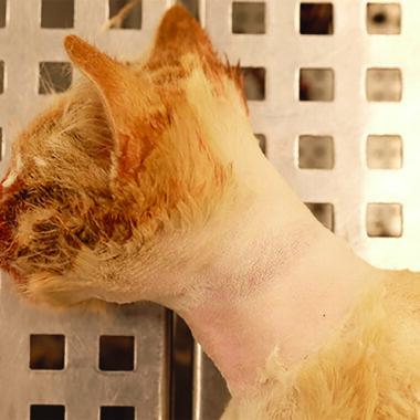 Figure 2. Ligature mark around the neck of a cat.