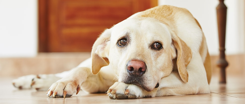 Carprofen for Dogs: Osteoarthritis and Pain Management