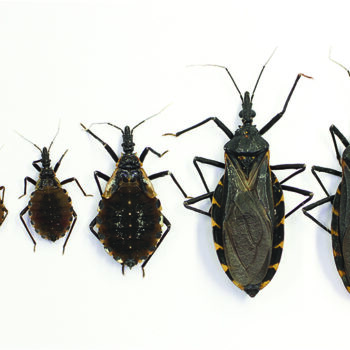 "Figure 1. Life stages of Triatoma gerstaeckeri, the most common triatomine species in the south-central United States. From left to right: eggs; first through fifth instar nymphal stages; adult female (note the pointed ovipositor at the base of the abdomen); adult male. Each life stage takes multiple blood meals from multiple hosts before molting to the next life stage. Triatomines are generally differentiated from other morphologically similar insects based on dark bodies overall, often with red or orange lines along the sides of the abdomen; thin, dark legs; and expanded mouthparts (rostrum) between the antennae, giving a ""cone-nose"" appearance. For help identifying kissing bugs, or to submit a triatomine for free Trypanosoma cruzi testing, please visit the Texas A&M University Kissing Bug Citizen Science Program website (kissingbug.tamu.edu). Photo courtesy Gabriel Hamer/TAMU Entomology."