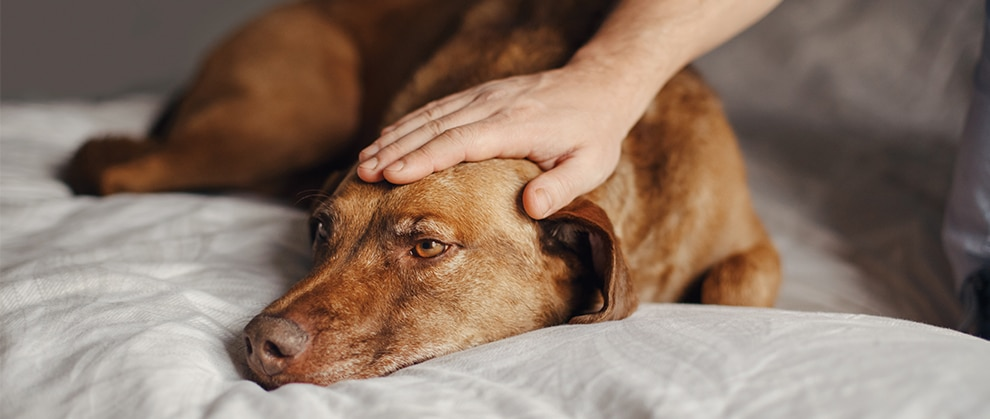 Treatment Plans for Routine and Refractory Canine Epilepsy