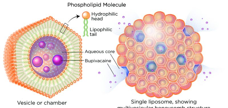 Figure 1. Schematic illustration of the multivesicular liposomes that make up the bupivacaine liposome injectable suspension. Each liposome is a honeycomb structure made up of multiple vesicles, or chambers, each with a lipid bilayer wall. The lipid bilayers, encompassing an aqueous core of bupivacaine within each vesicle, are destabilized by body heat. Subsequent disruption of the individual microvesicle membranes allows a slow, controlled release of bupivacaine.