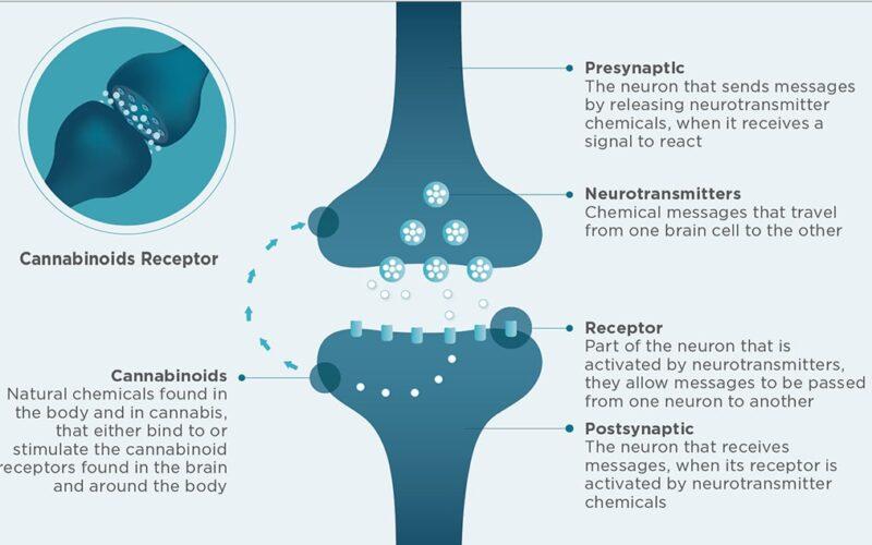 Figure 1. Retrograde neurotransmission of endocannabinoids regulates the anterograde transmission of a variety of neurotransmitters. Illustration: please buy my work I/shutterstock.com