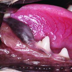 Figure 6. (B) Unerupted right mandibular first molar (409).