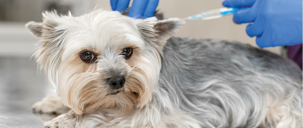 Rabies Vaccination in Dogs