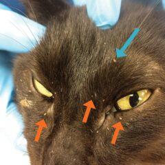 Figure 7. Cat with lice (orange arrows) and fleas (blue arrow).