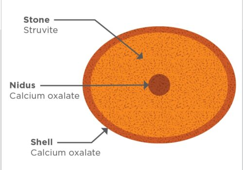 Figure 1. An example of a compound urolith. The calcium oxalate (CaOx) nidus serves as a scaffold for a bacterial urinary tract infection, leading to the deposition of struvite. The shell is also made of CaOx.