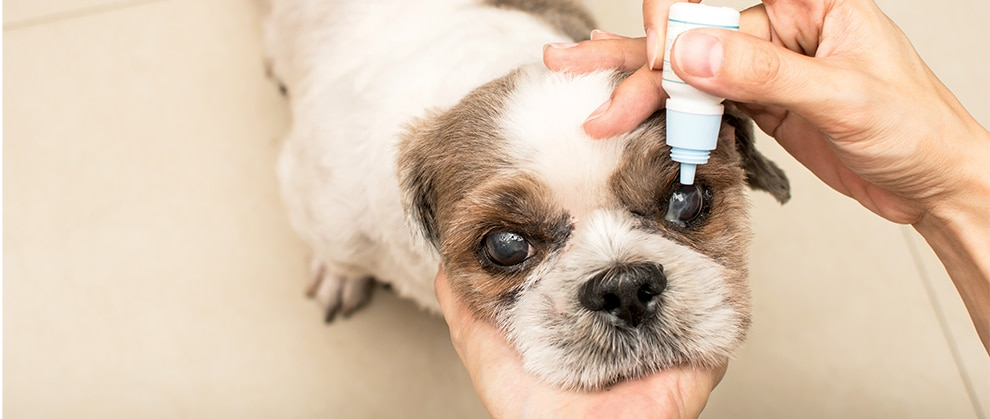 Diagnosing, Treating, and Managing Causes of Conjunctivitis in Dogs and Cats