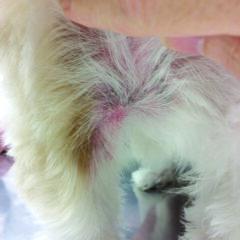 Figure 6B. Ventral interdigital (A) and axillary (B) erythema and alopecia in a food-allergic dog.