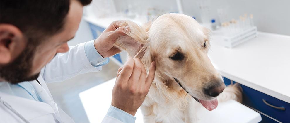 Treating Otitis Externa in Dogs